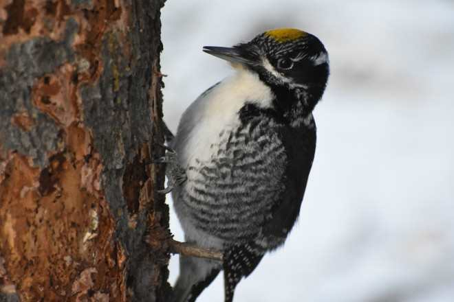 American Three-toed Woodpecker, image