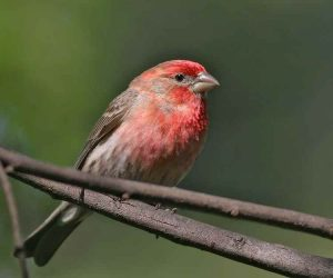 The Red Headed Sparrow: Everything you need to know