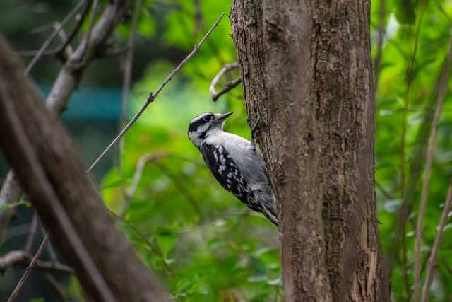 Downy Woodpecker, image