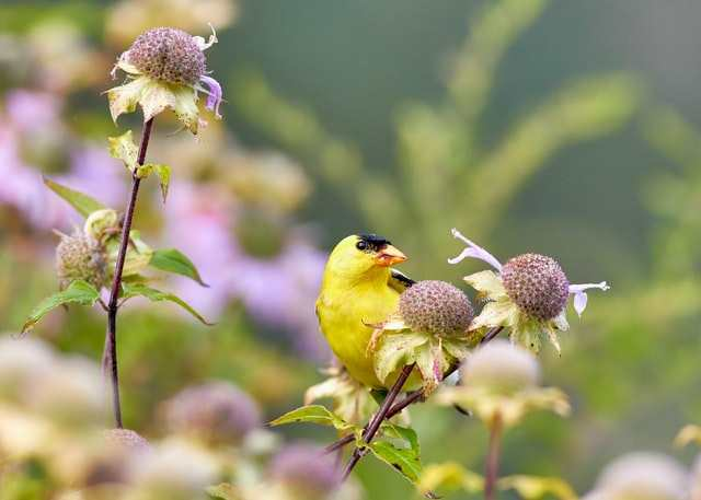 American Goldfinch, image