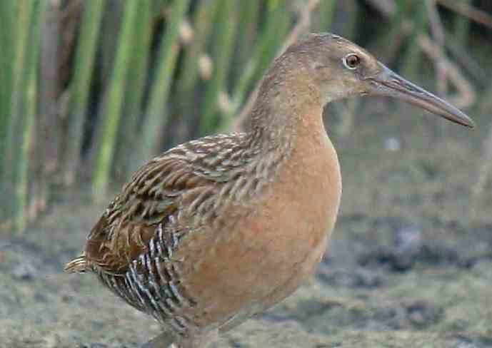 The King Rail, image