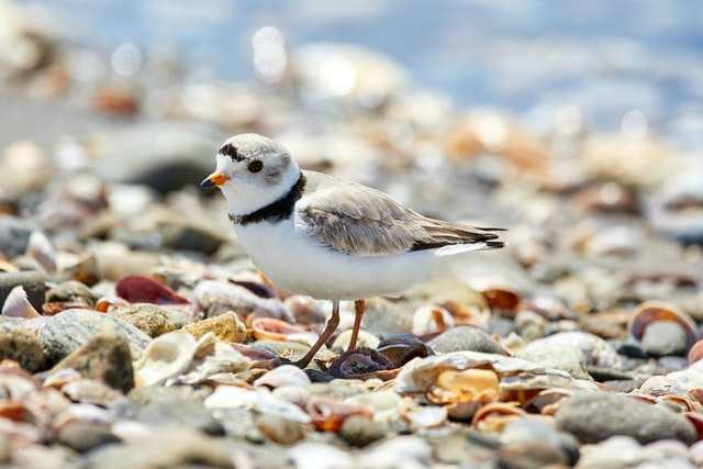 Piping Plover, image