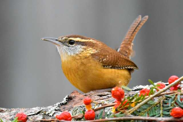 Carolina Wren, image