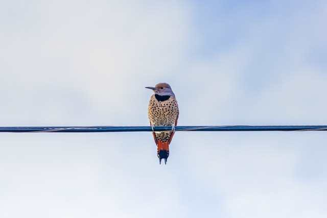 Northern Flicker, image