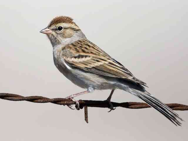Chipping Sparrow, image