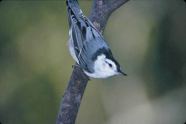 White-breasted nuthatch, image