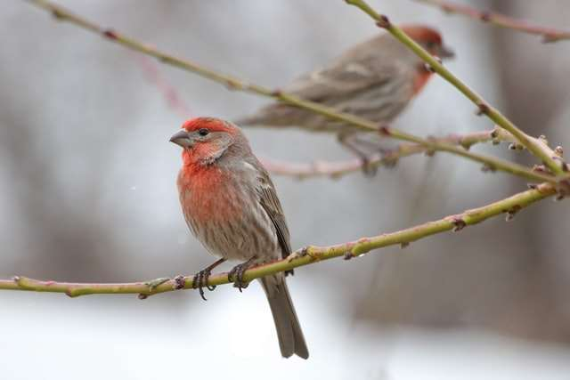 House finch, image