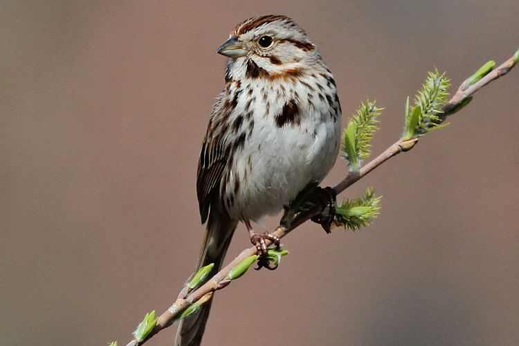 Song Sparrow, image